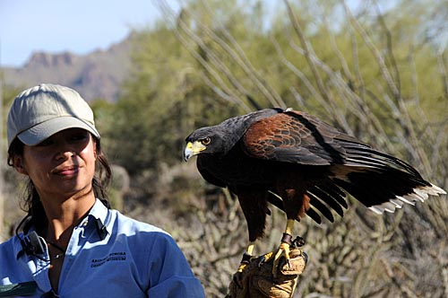 Harris Hawk and Trainer
