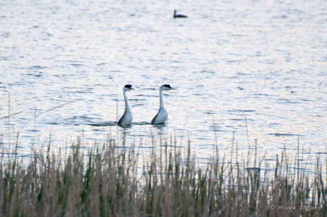 Western Grebes in a rushing courtship