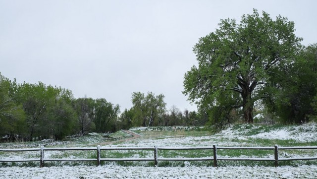 Snow Covered Trail and a favorite Cottonwood tree