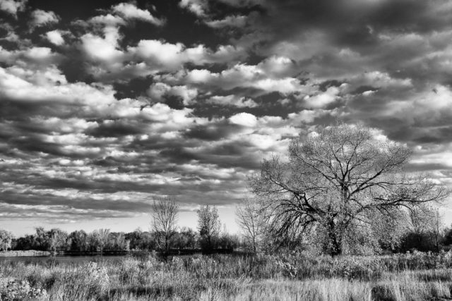 The Cottonwood Tree