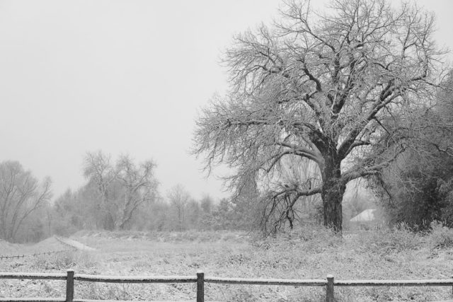 Cottonwood Tree at Fischer Nature Area trail