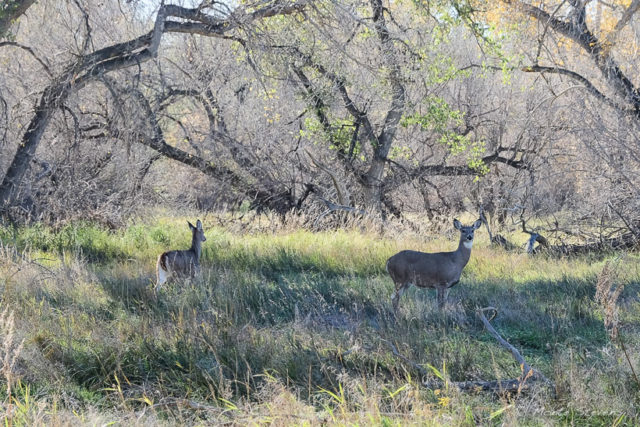 Whitetail deer live along this riparian area of the Poudre River