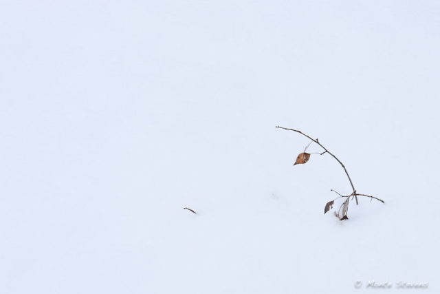Branch with Leaves in Snow